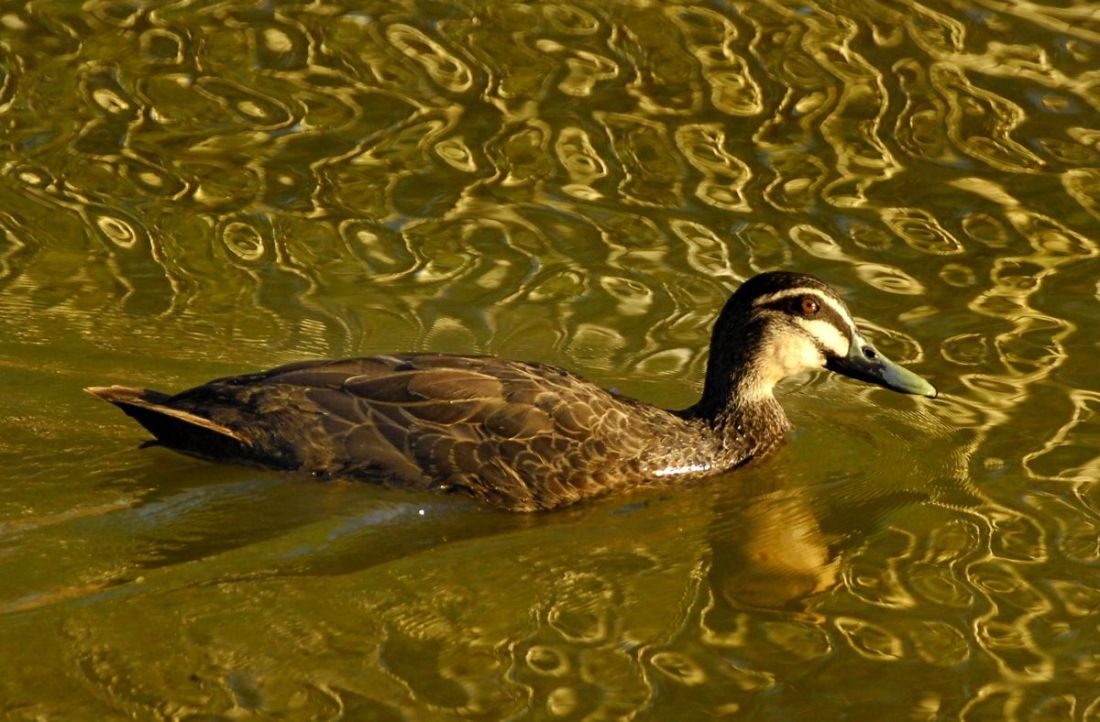 Pacific Black Duck on a pool of Rodger ripples