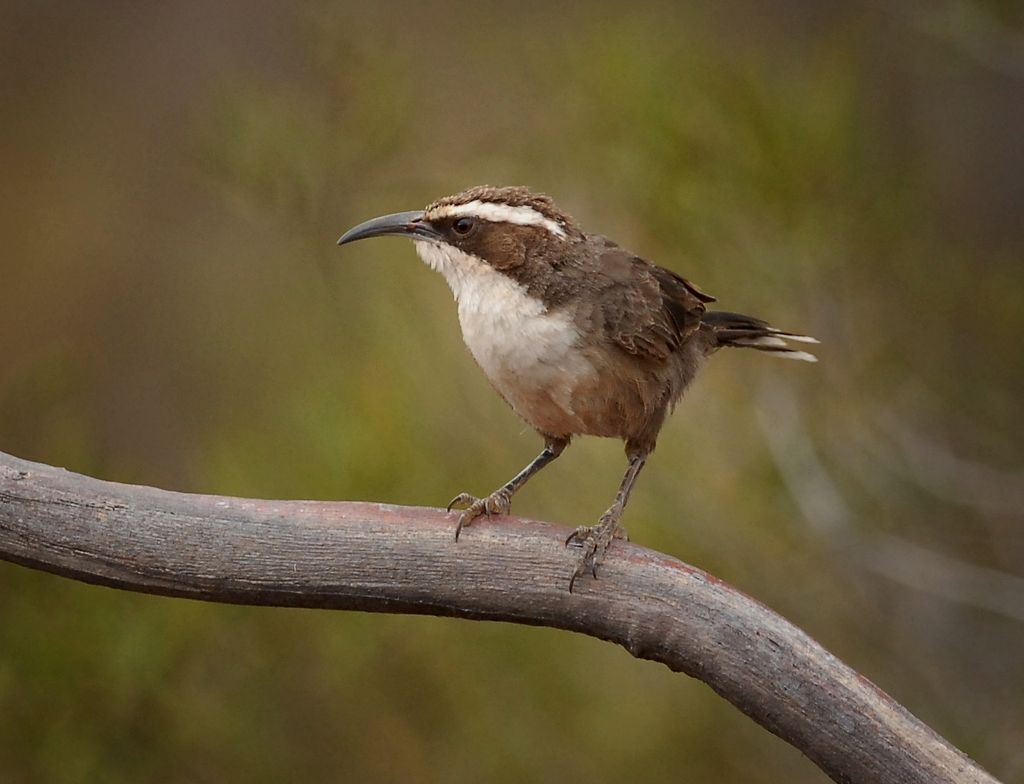 White-browed Babbler showing off its very long beak