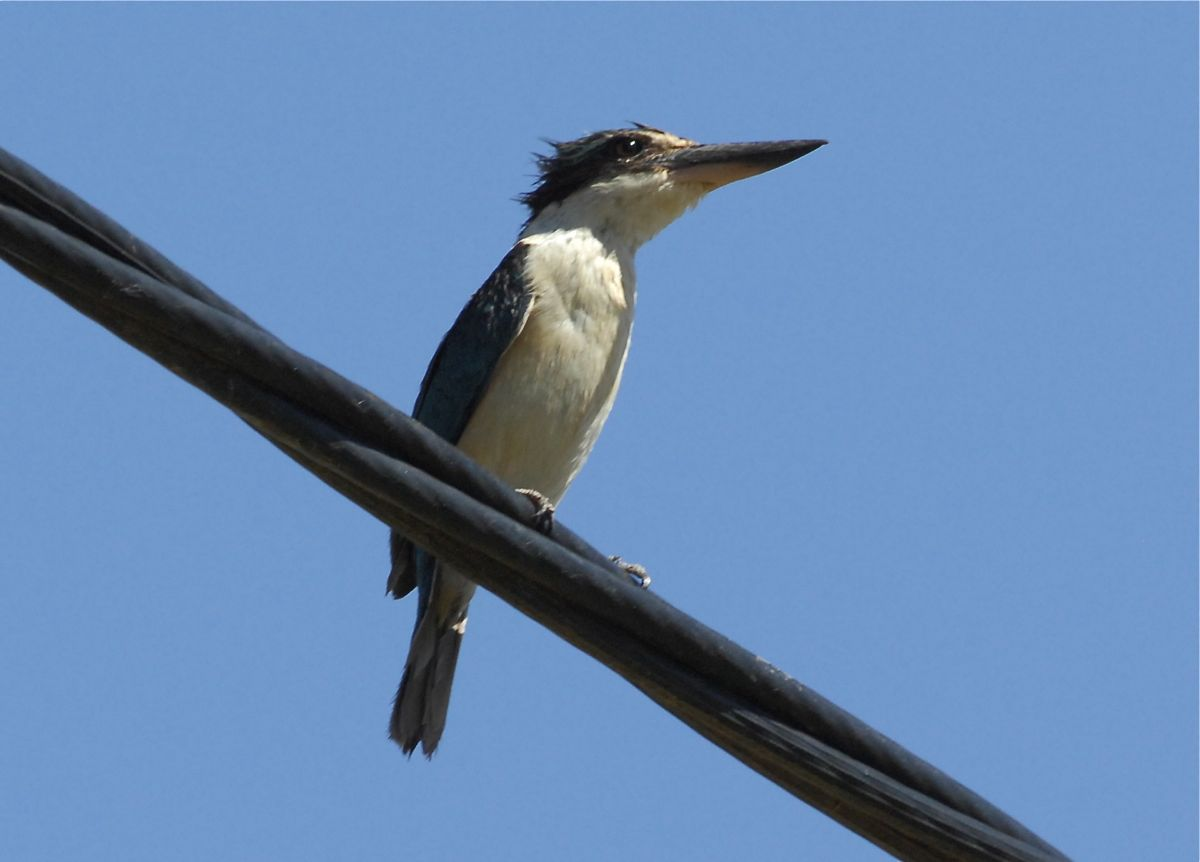 A very patient Sacred Kingfisher, as we manoeuvred into the best spot for a shot.