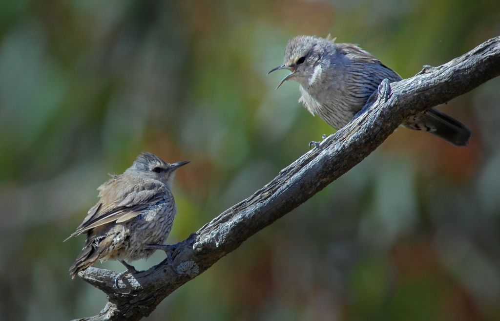 Brown Treecreepers in deep discussion about people with long lenses interrupting a perfectly good days outing.