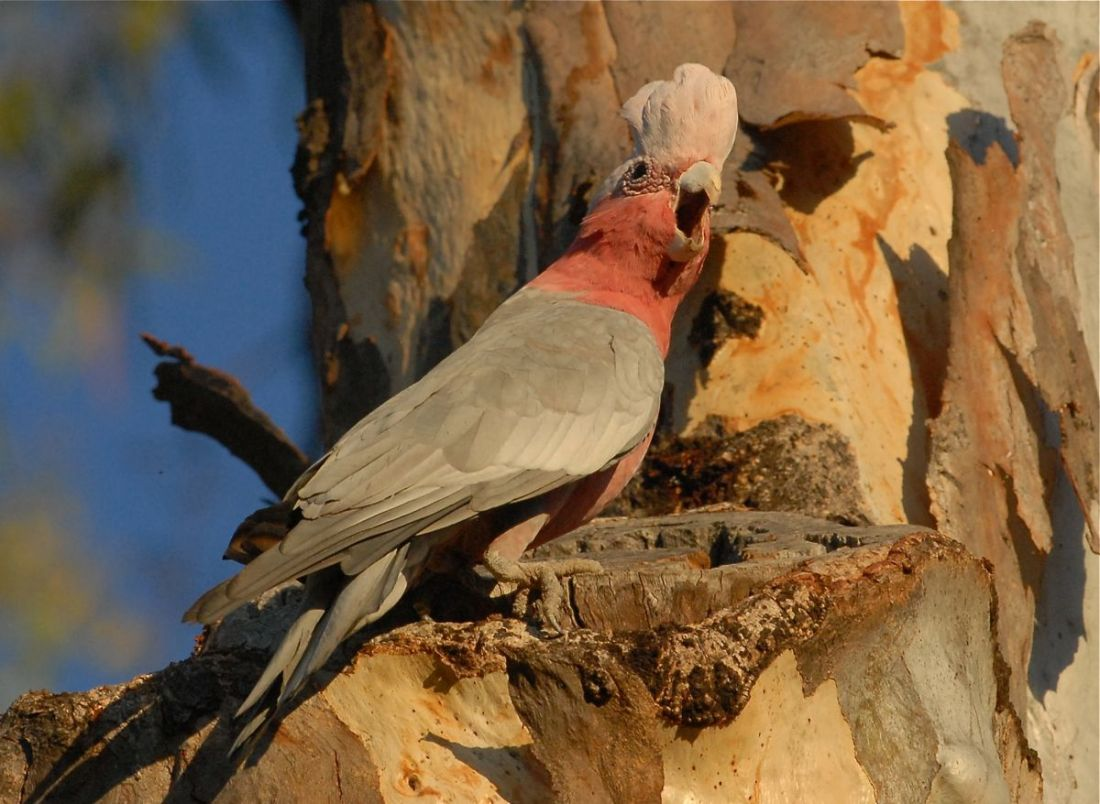 Galah either drinking or feeding from the opening in the tree. Here it is defending its eating rights for another bird.