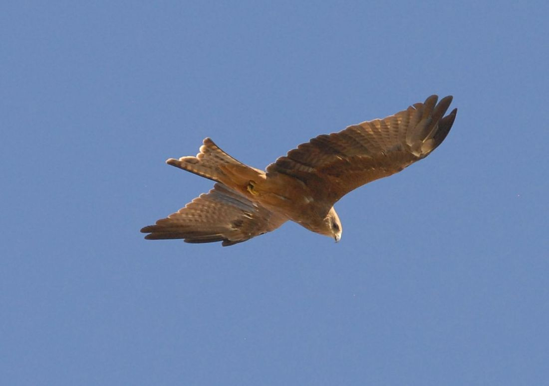 Whistling Kite in the evening sunshine near Swan Hill.
