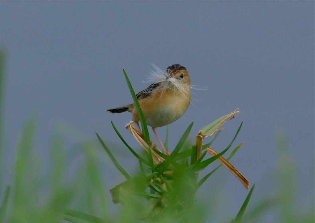 Golden-headed Cisticola with nesting materials