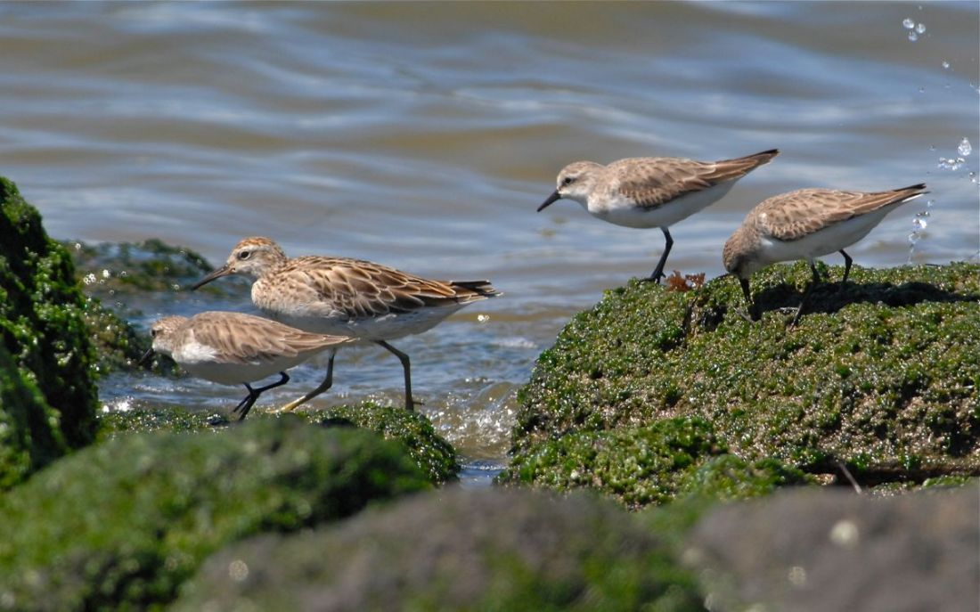 Red-necked Stint and Sharp-tailed Sandpipers at the 'new' water crossing at WTP