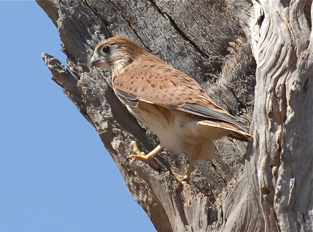 Juvenile Nankeen Kestrel, sheltering from the wind. Waiting for Mum to supply a meal.