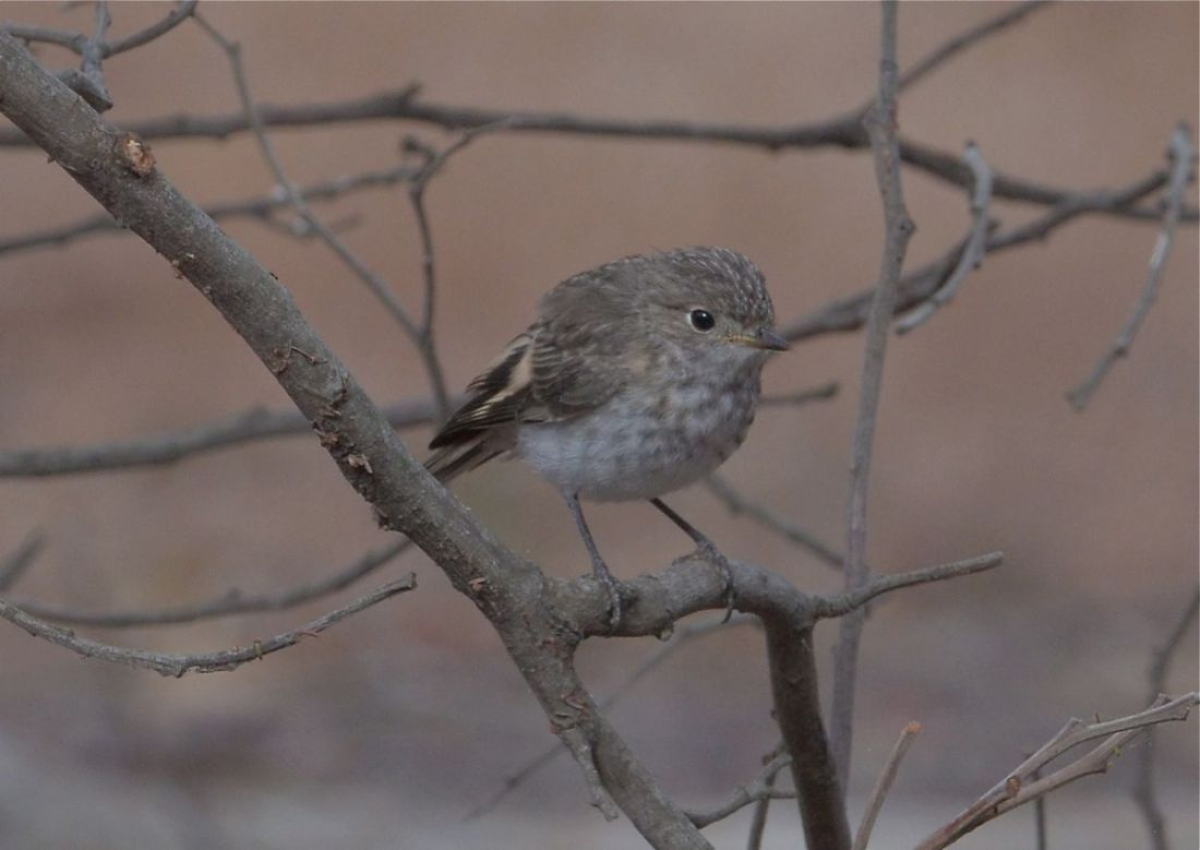 A tiny reproduction of Mum. A young Red-capped Robin now looking after itself.