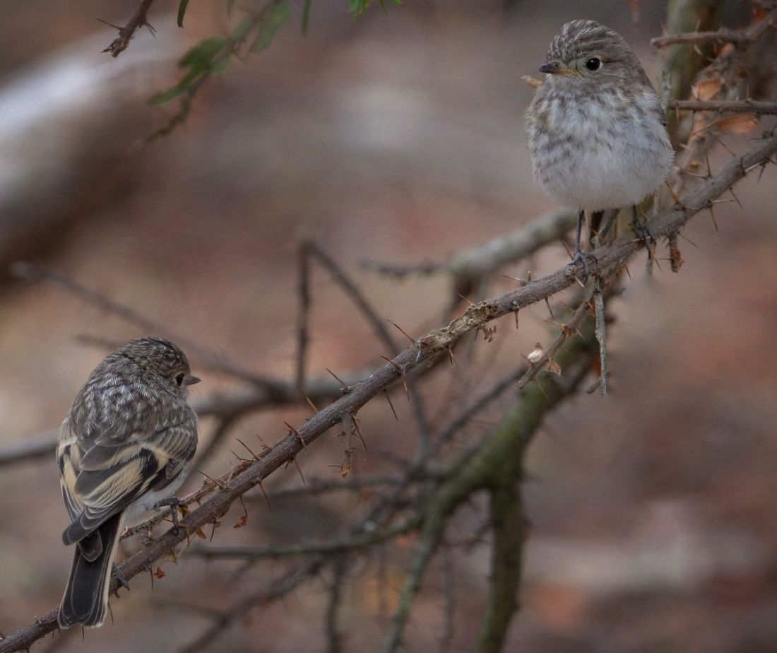 Two Juvenile Red-capped Robins now fending for themselves.