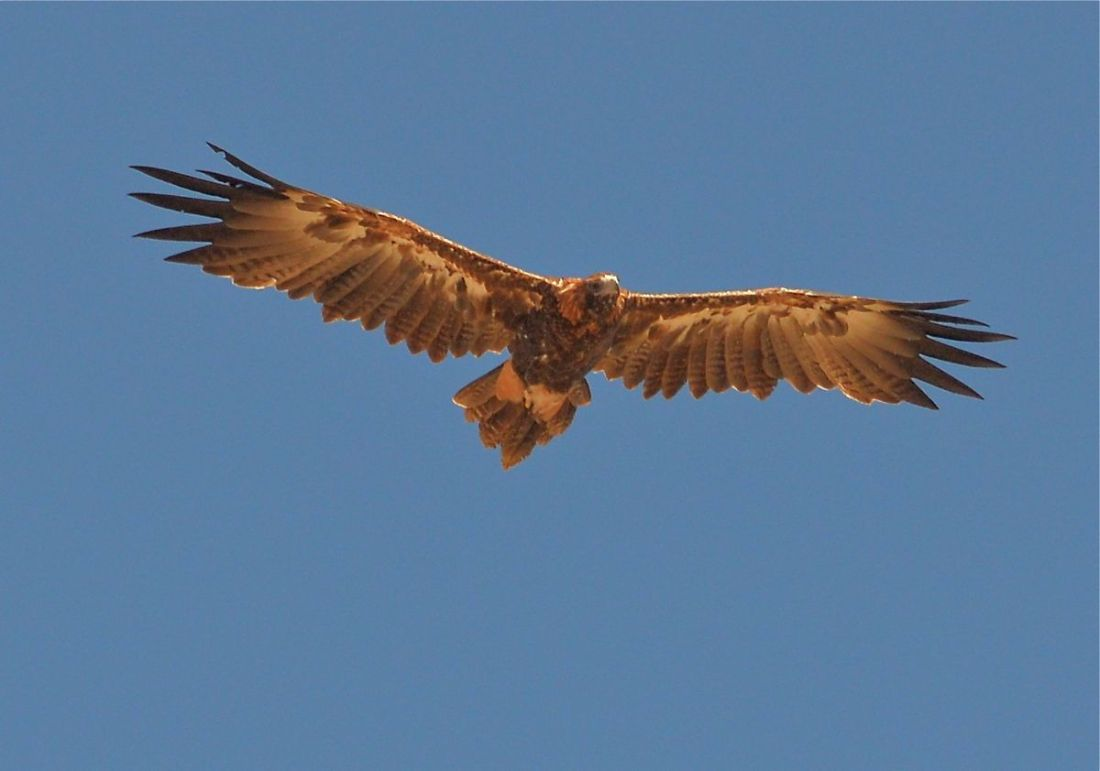 Wedge-tailed Eagle. Low down, in a moderate tail wind. Cruising at about walking speed.