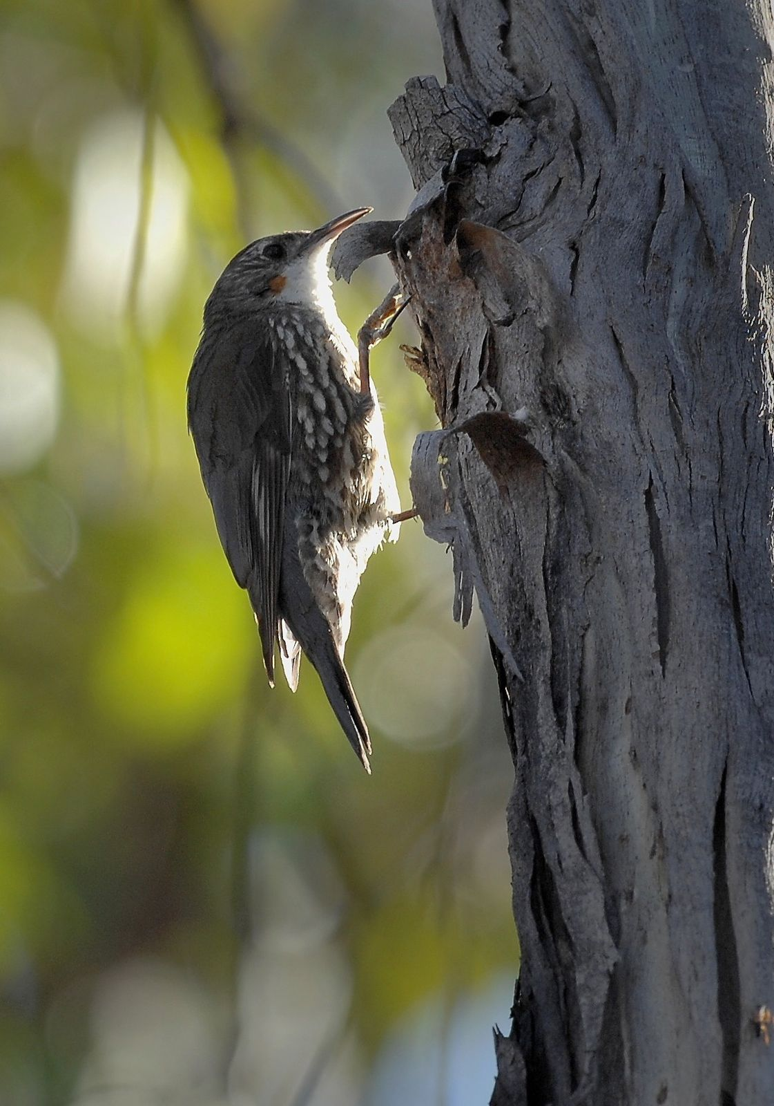 White-fronted Treecreeper in action in the last moments of sunlight.