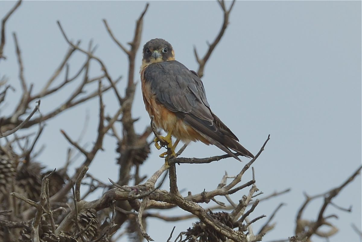 Australian Hobby surveying breakfast options