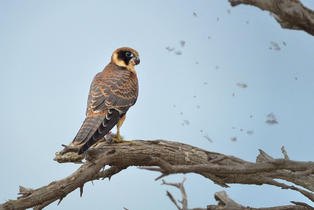 Feathers fly as the Hobby gets down to business. The feathers are stuck on a Spider Web