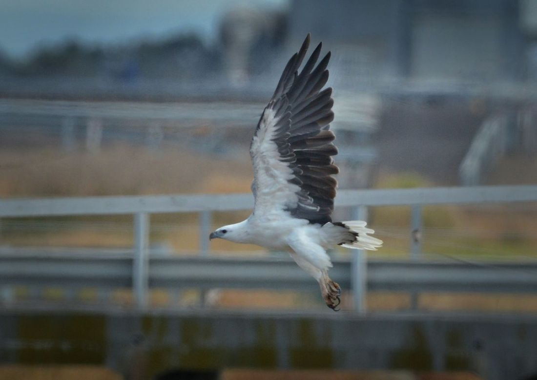 White-bellied Sea-eagle over the bridge near 85W pond.