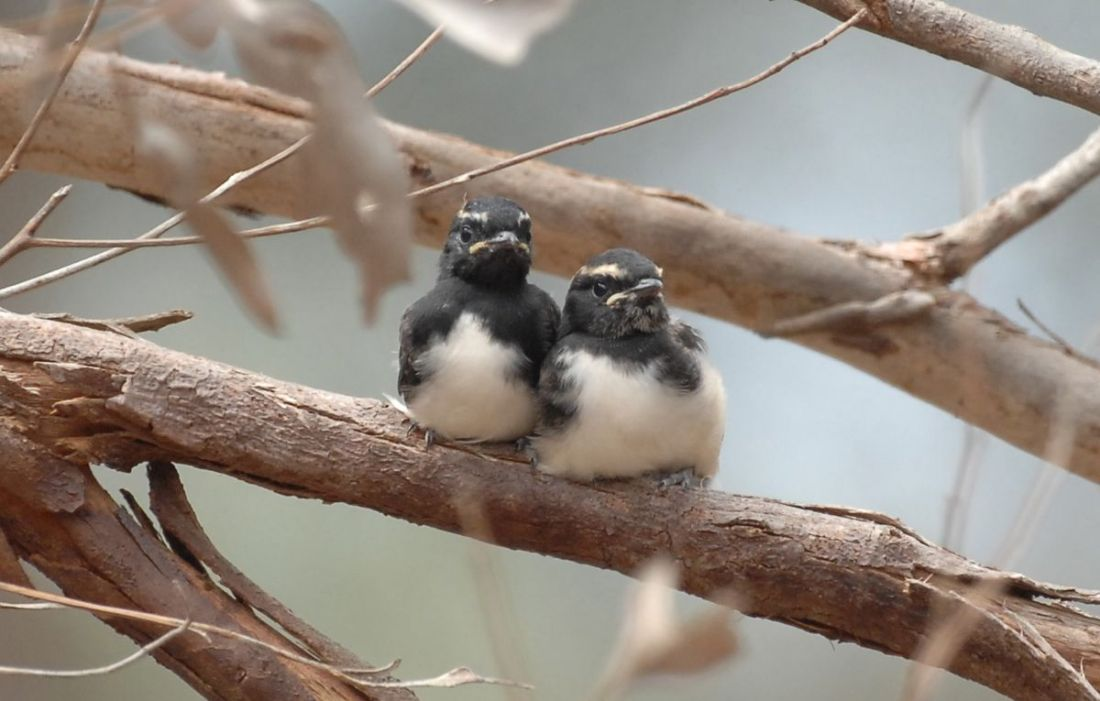Two young Willie Wagtails out of the nest.  Their more adventurous sibling is on another branch. Waging a very short tail.
