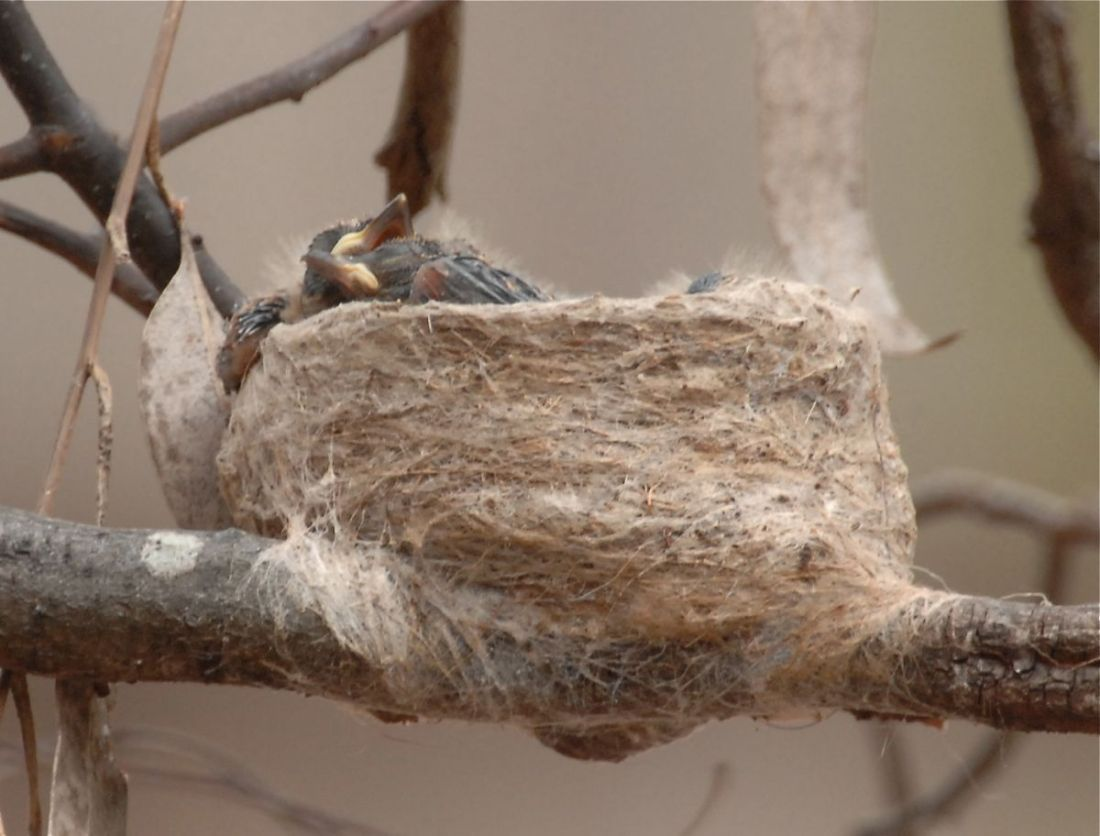 Newly hatched and not yet ready to meet their public. Williie Wagtail hatchlings.
