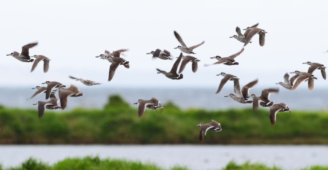 Pink-eared Ducks take to the air at the approach of a Swamp Harrier.