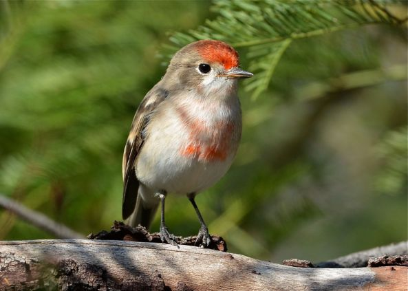 Young Redcap Male.