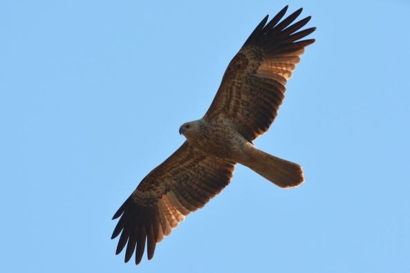 A large number of Whistling Kites are working in the area. I counted 12 birds up near the radar tower area.  Something must be drawing them in.