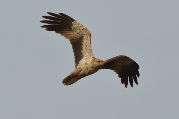 Whistling Kite enjoying the early morning air. The off shore wind gave them a chance to waft along the edges of the water with little effort