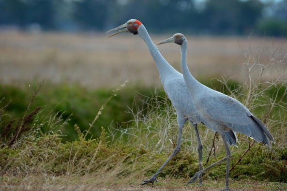 An adult and juvenile Brolga. The first I've even seen or photographed. Worth the time down, just for this. The elegance of the birds movements are something that really has to be seen to be fully appreciated.