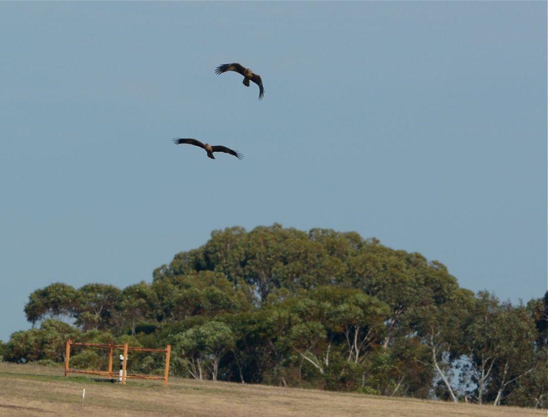 Two Whistling Kites enjoying the light breezes