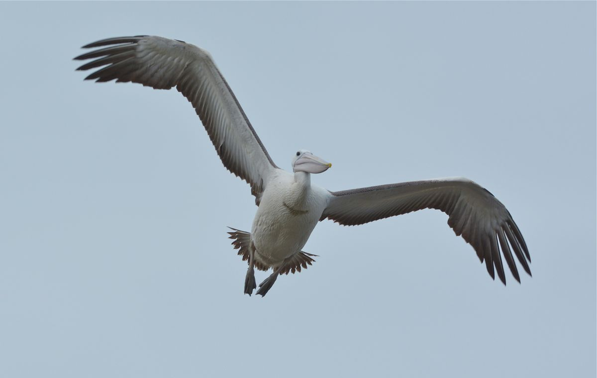Pelican on a turn