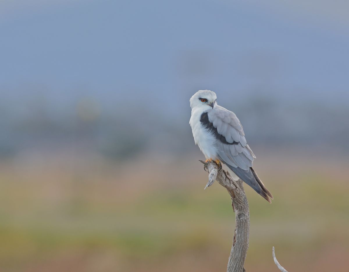 Black-shouldered Kite in the misty rain, You Yangs background