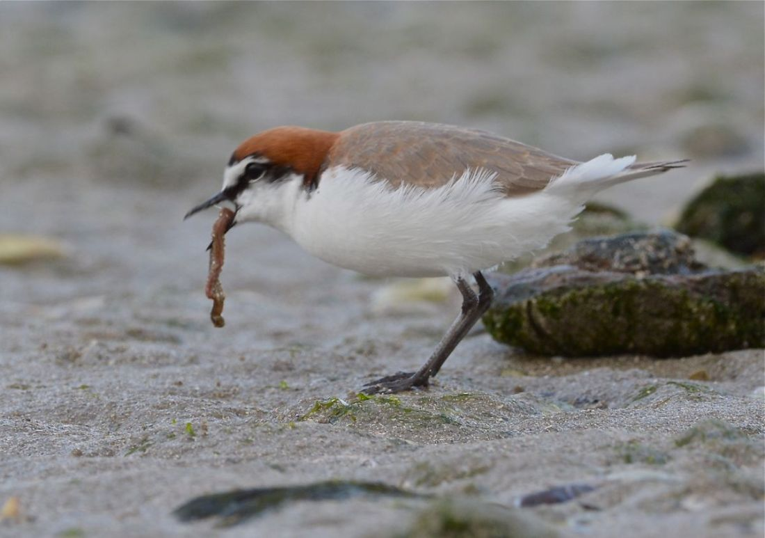 Red-capped Plover and worm