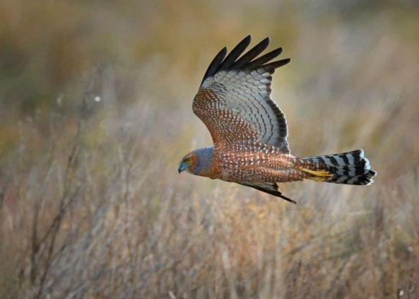 Spotted Harrier, doing what they do best. Low languid flight.