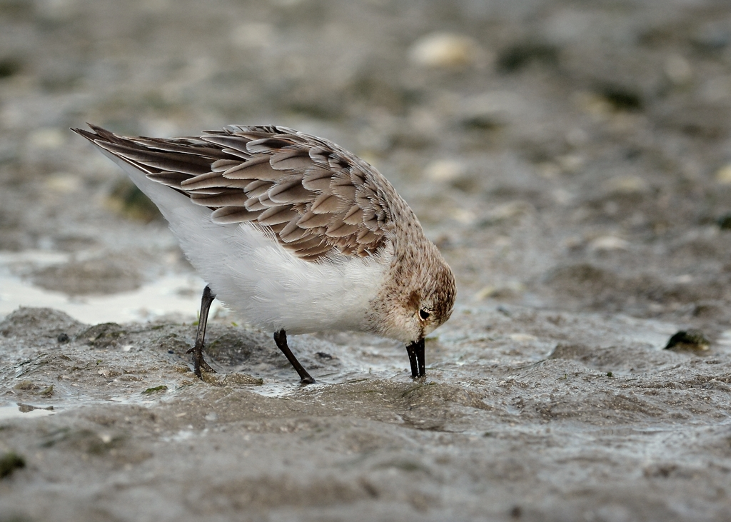 Red=necked Stint, who didn't brave the journey to Siberia.