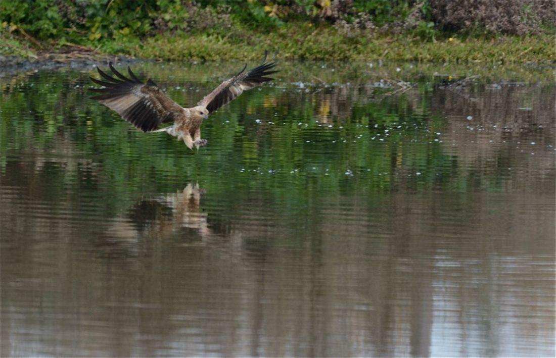 Whistling Kite 'fishing'.