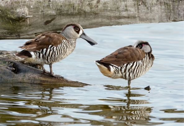 Pink-eared Ducks at rest