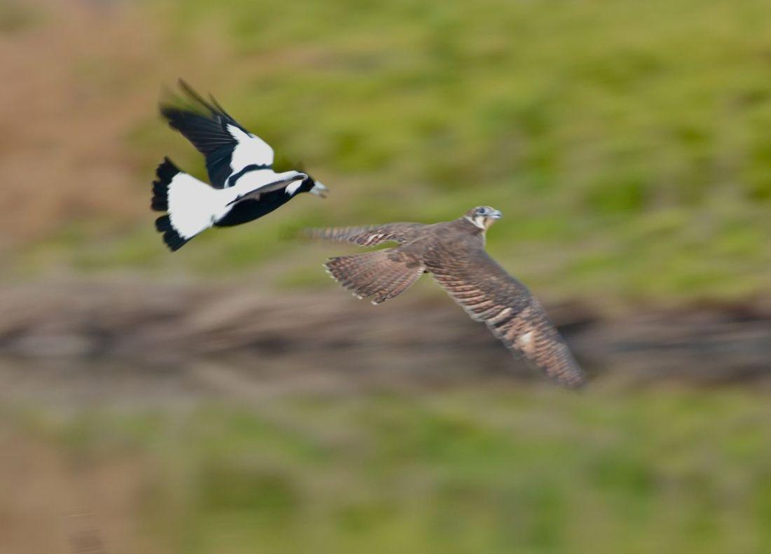 Magpie in hot pursuit