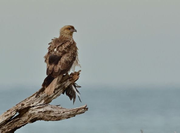 Whistling Kite enjoying the fruits of its labours