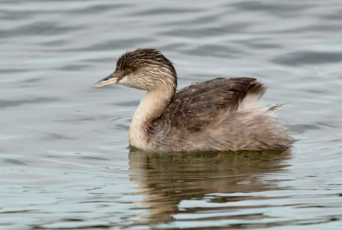 Hoary-headed Grebe in a misty pond.