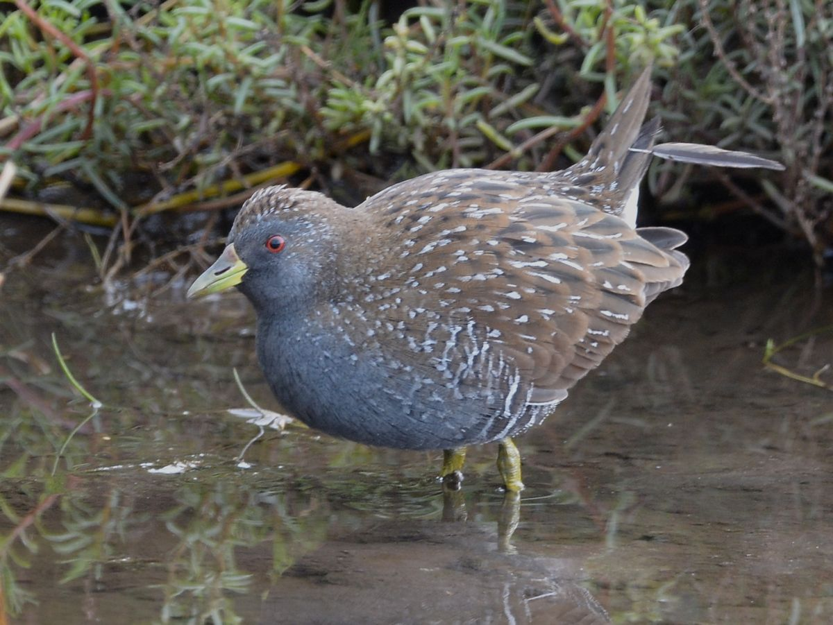 Spotted Crake.