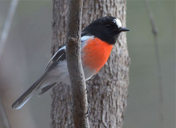 First of two Scarlet Robins. Its not Will.I.Am, as the red apron is different.