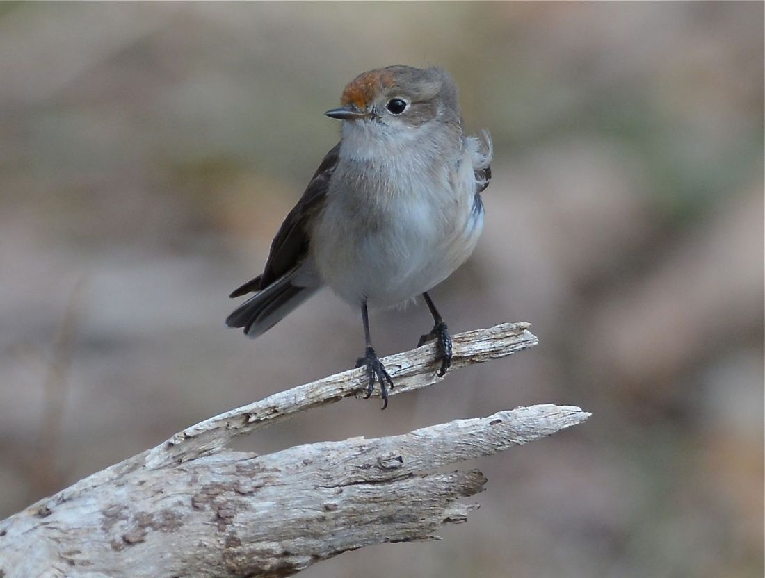 A very busy little female down along the creek line, she and her male companion were working with a large family of Flame Robins and Thornbills.