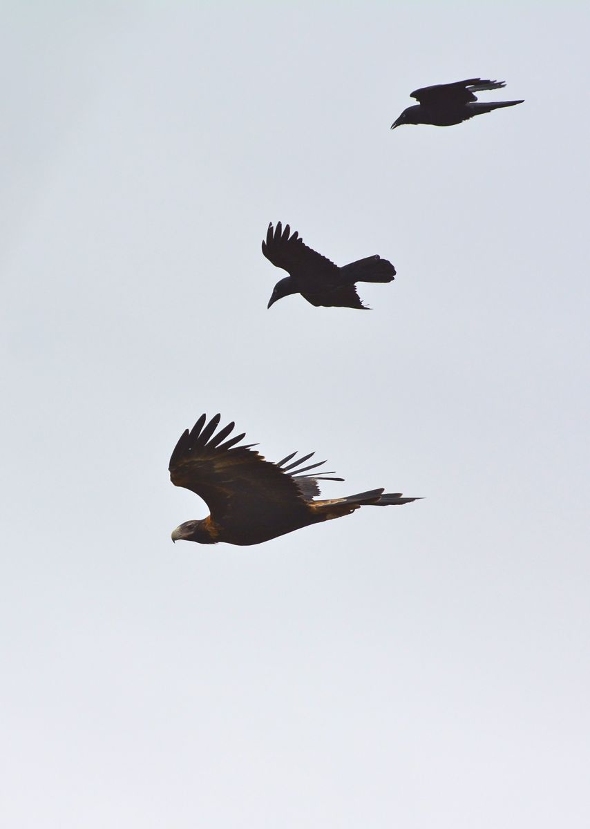 Wedge-tailed Eagle taking its pet Ravens out for a morning flight.
