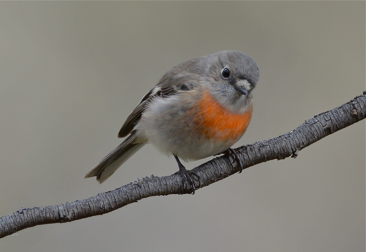 Female Scarlet Robin in the Sugar Gums