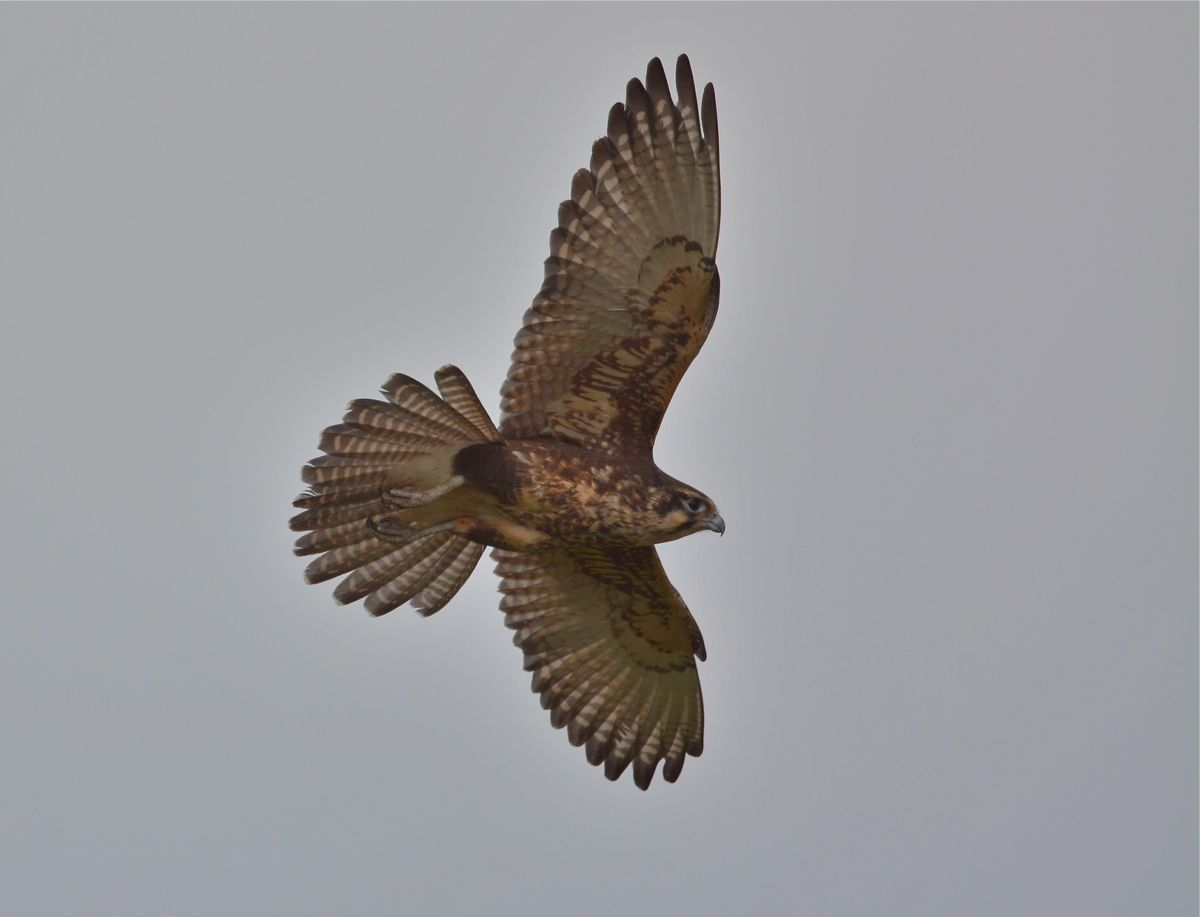 Brown Falcon in a tight turn on a strong wind