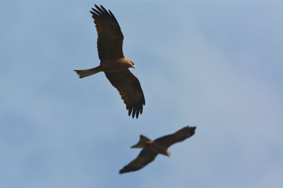 And here's why. Two of the mob of Black Kites that wafted in.