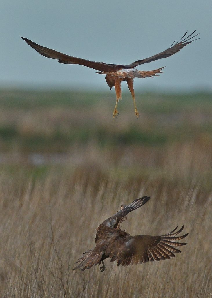 Heading for the grass, Harrier in pursuit