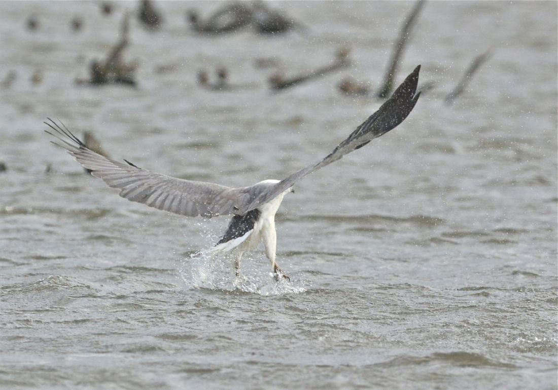 White-bellied Sea Eagle lifting itself out of the water