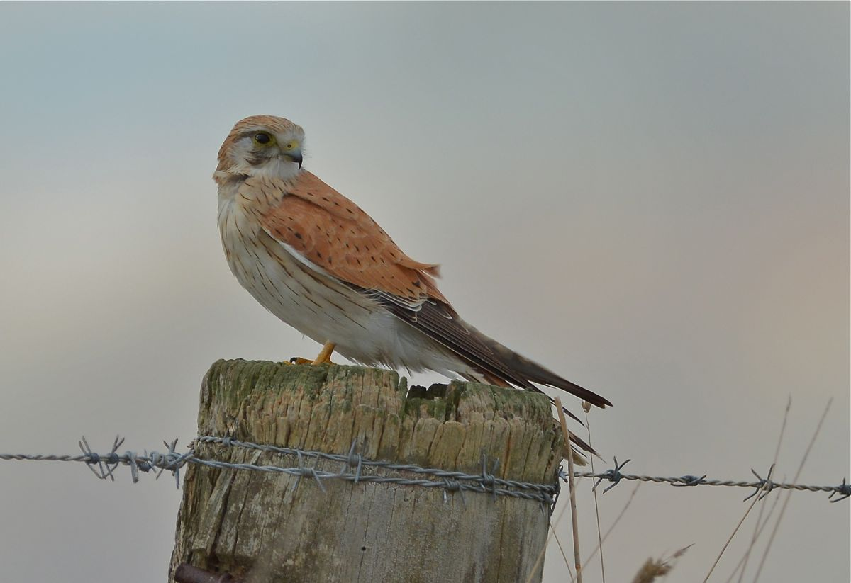 If I sit quietly on the post, will you go away and stop annoying me. Female Nankeen Kestrel