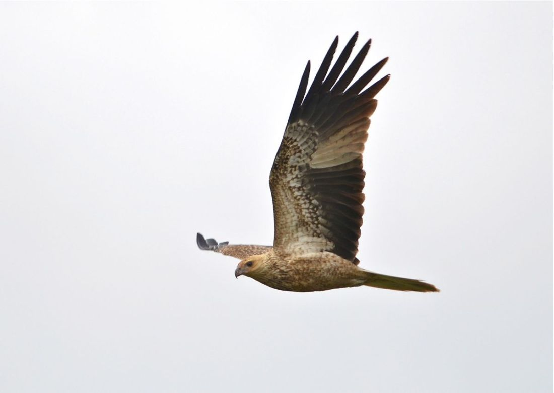 Whistling Kite in a light breeze.