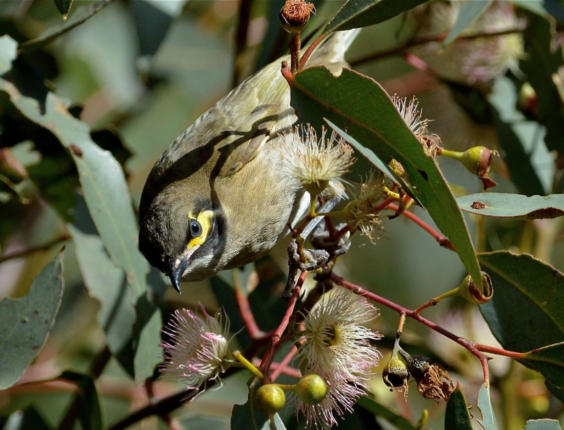 Yellow-faced Honeyeater hard at work on the blossoms