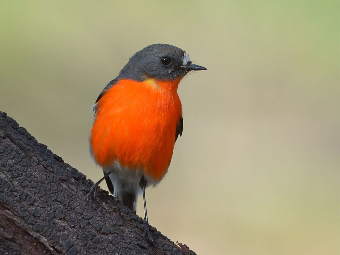 Interesting Flame Robin male, who seemed to be independent of the small family group that was working in the area