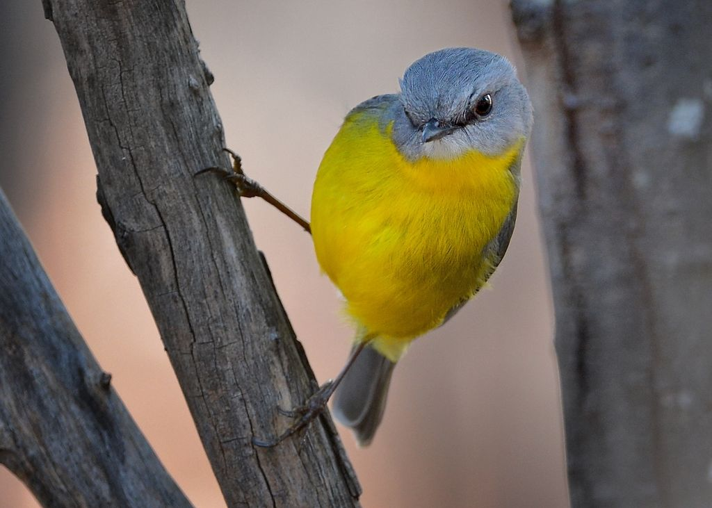 Eastern Yellow Robin, on a tree waving in the wind trying to keep its head and eyes on a target grub