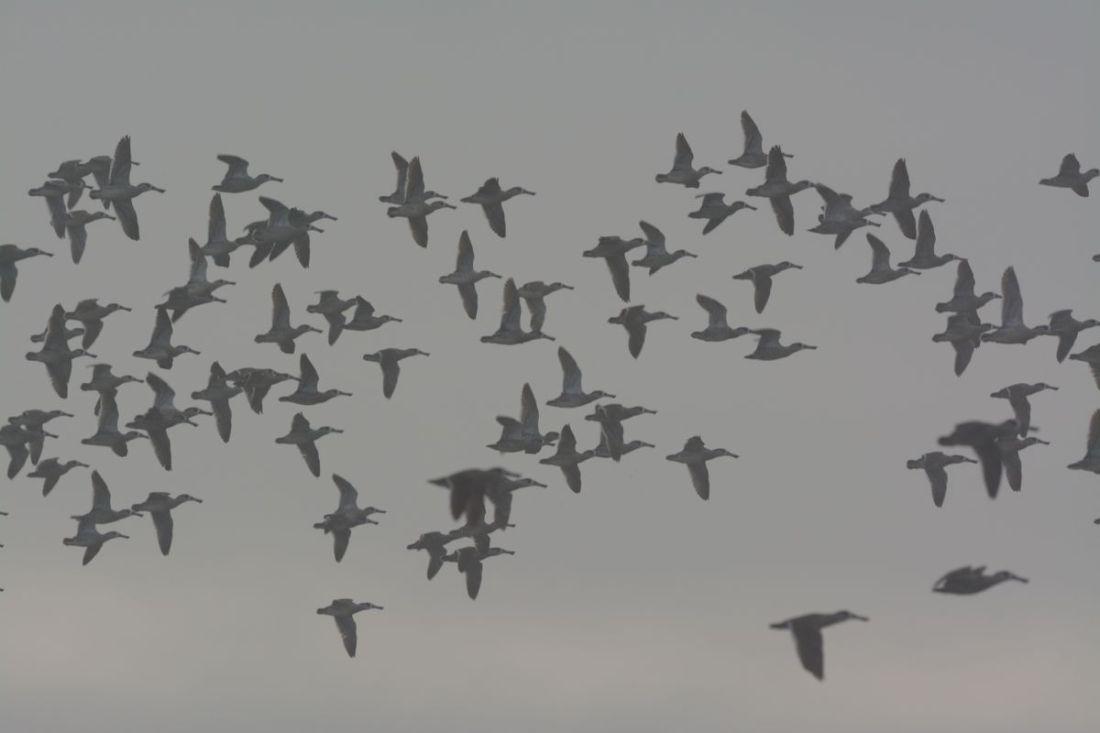 Pink-eared Ducks getting radar guidance to avoid Swamp Harrier.