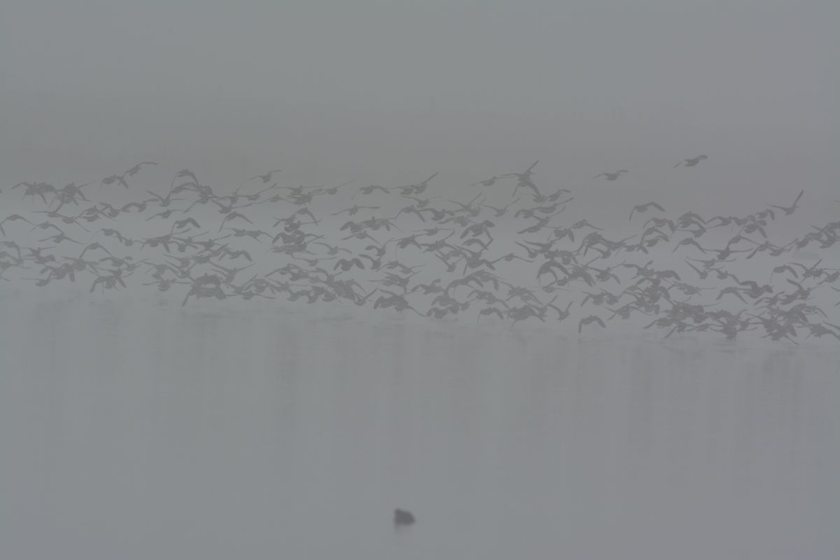Pink-eared Ducks airborne in the fog.  Now they had seen a Swamp Harrier come over the water, and were gone.  Oh, that was what that dark shape was.